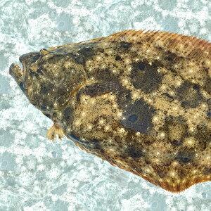 【産地直送】活〆。瀬戸内の天然平目 鮮魚 ヒラメ 約1kg(1尾)40cm前後