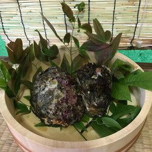 特大!高知県産天然岩牡蠣【1キロ】2〜3個程度 牡蠣 生食 高級 贈答 バーベキュー 季節物 刺し身 焼き 蒸し