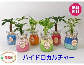 農園直送!◆ミニ観葉植物◆ハイドロカルチャー♪ツートン カラーサンド3個setウッドスライス付き!選べる植物&カラーサンド