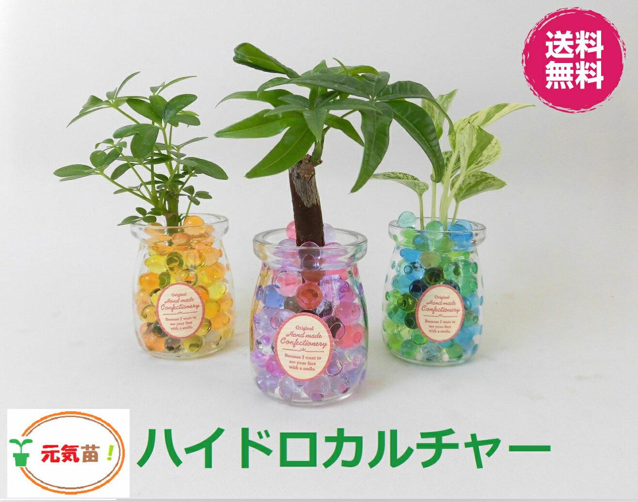 農園直送!◆ミニ観葉植物◆ハイドロカルチャー♪クリスタルゼリーマーブル3個setすのこ付き!選べる植物&ゼリーカラー