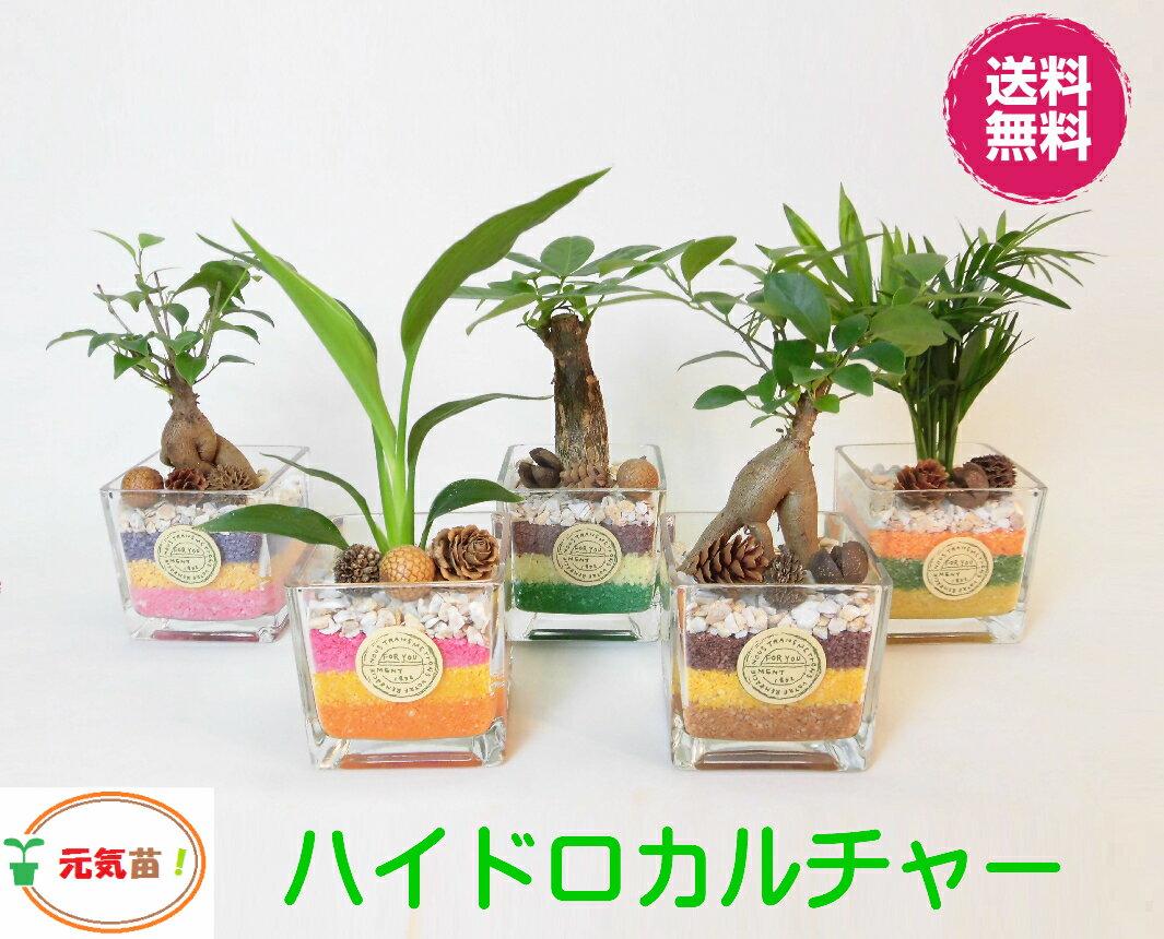 農園直送!◆ ハイドロカルチャー ミニ観葉◆♪可愛い カラフルカラーサンド!選べる植物&サンドカラー