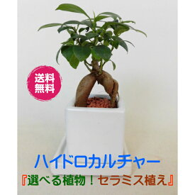 農園直送!ミニ観葉◆植物が選べる♪◆ハイドロカルチャー 簡単きれいな セラミス植え◆プレゼントにもおススメ!