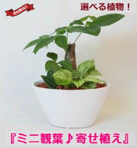 農園直送!ミニ観葉 ◆ メインの植物が選べる 寄せ植え♪◆ハイドロカルチャー セラミス植え◆