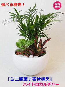 農園直送!ミニ観葉 おしゃれ ◆ メインの植物が選べる 寄せ植え♪◆ハイドロカルチャー セラミス植え◆