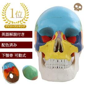 頭蓋骨模型 配色 済み 英語 解説 オリジナルカラビナ メーカー保証書 豪華4点セット! sia004 【送料無料】