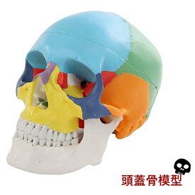 【送料無料】 頭蓋骨模型 配色 済み 英語 解説 オリジナルカラビナ メーカー保証書 豪華4点セット! sia004