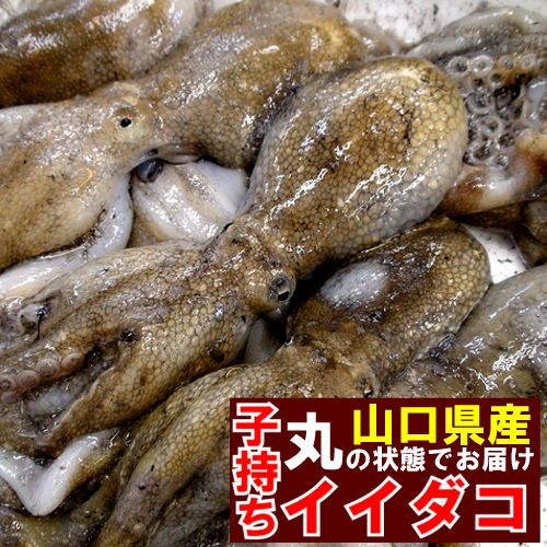 子持ちイイダコ飯蛸約500g真子(卵)入りいいだこ冷蔵発送