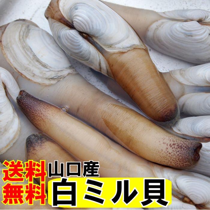 白みる貝1kg【送料無料】お刺身3-4人前シロミル貝、白ミル貝