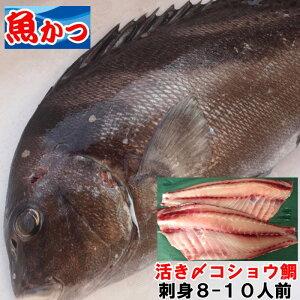天然物 コショウダイ約2kg活き〆刺身用送料無料刺身8-10人前お値打ち白身刺身鮮魚 一匹