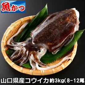 いか 刺身山口県産甲いか さしみ約3kg(8-12尾)コウイカ スミイカ ハリイカイカ 刺身鮮魚 下処理 魚介類刺身用 イカ刺身 寿司ネタ 送料無料活イカ 生 いか刺し身 海鮮
