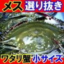 メス選り抜き生ワタリガニ活〆小サイズ約2、2kg(8−10尾)
