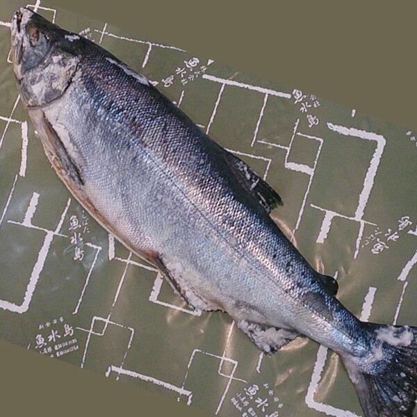 【送料無料】厳選「新潟産・天然 新巻鮭」5kg物