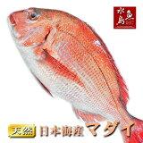 天然真鯛マダイ桜鯛日本海産2.0〜2.4キロ物