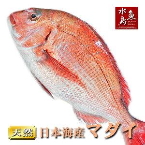 天然真鯛 マダイ 桜鯛 日本海産 1.0〜1.4キロ物