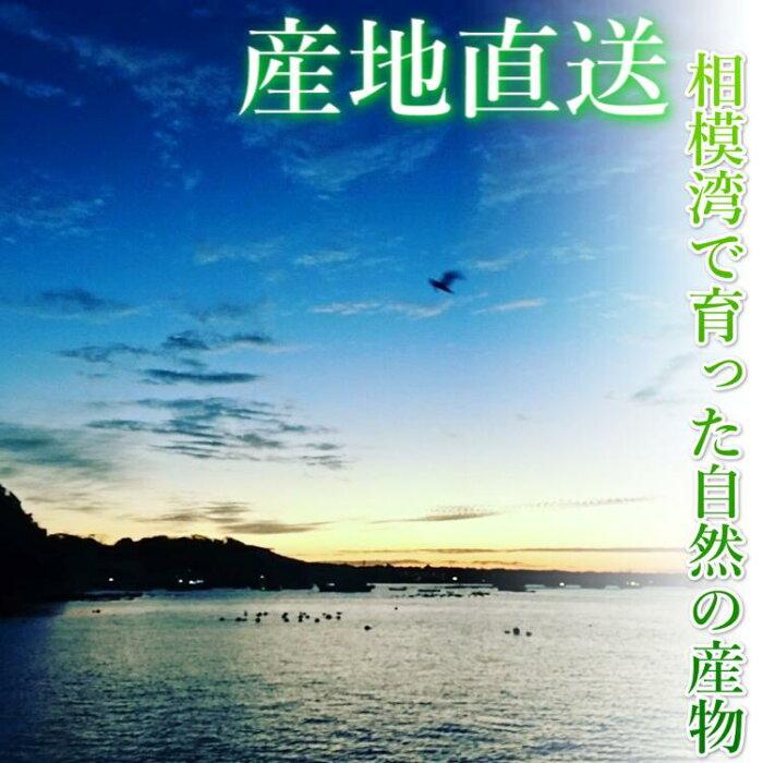 無添加!相模湾産あかもく(冷凍)150gパックアカモク海藻海草かながわブランド食物繊維母の日