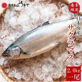 日本海産 サクラマス(本鱒・桜鱒) 2.0kg生一尾【切り身にしてお届け】