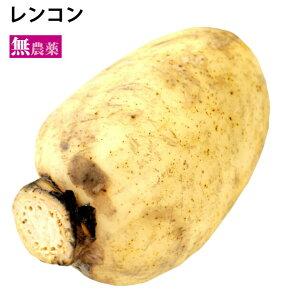レンコン 茨城県霞ケ浦産 無農薬栽培 無漂白 1.2kg前後