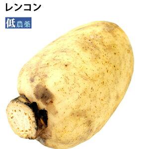 レンコン 茨城県霞ケ浦産 低農薬栽培 無漂白 1.2kg前後