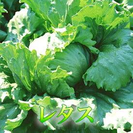シャキシャキ歯ごたえが小気味イイ♪定番野菜のレタス1玉