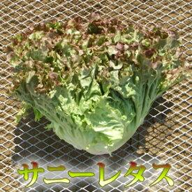 彩りフリルがオシャレな新鮮野菜「サニーレタス」1把