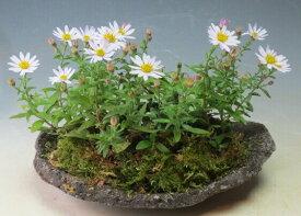 秋の山野草 花芽付き!野紺菊(薄紫)の石付け【現品】現在、開花中です。