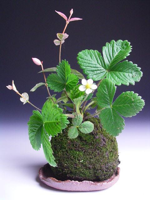 ワイルドストロベリーの苔玉