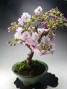 桜 盆栽 花芽付き!八重桜の鉢植え盆栽 2018春開花予定 【送料無料】