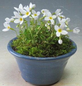 早春の山野草 白花ヒナ草の鉢植え(ミニ) 開花の盛りは終えております。