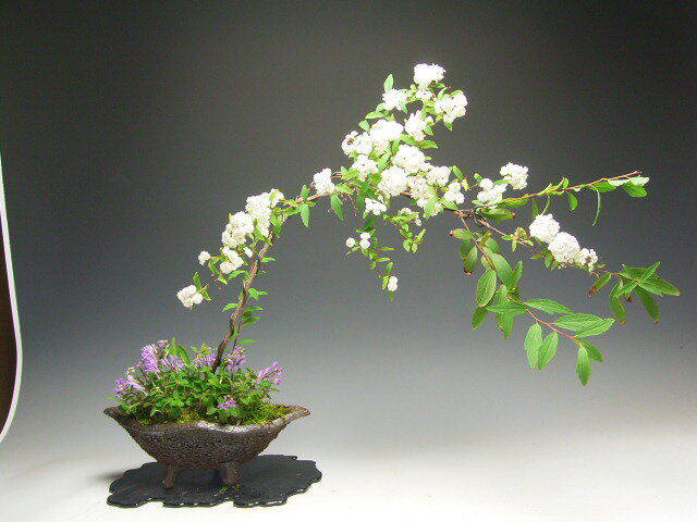 コデマリの鉢植え 今年の開花は終わっております。
