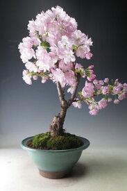 盆栽 桜 花芽付き!旭山桜(大)の鉢植え盆栽【送料無料】2020春開花予定