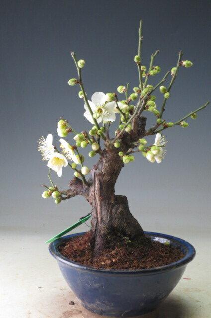 【バーゲン・セール】盆栽 梅 茶青梅(白花・一重咲き)(小)今年の開花は終わっております。