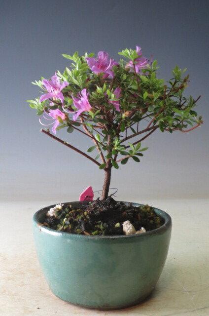 雲仙米ツツジの鉢植えミニ盆栽 今年の開花は終わっております。