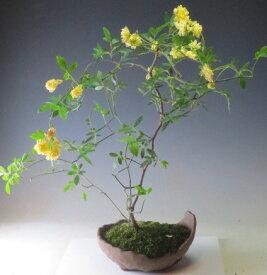 黄花モッコウバラの鉢植え盆栽 2021春開花予定