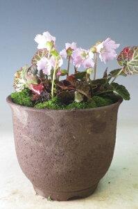 早春の山野草 岩ウチワの鉢植え 今年の開花は終わっております。