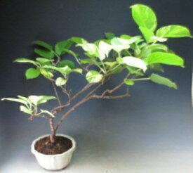 斑入りサルナシ(メス木)の鉢植え盆栽【現品】【沖縄・離島発送不可】