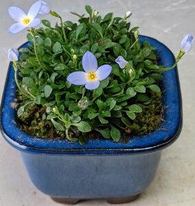 早春の山野草 ヒナ草の鉢植え(ミニ) 開花の盛りは終えております。