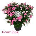 母の日プレゼントギフト花鉢植えつるバラローズピンク薔薇ばら寄せ植え生花ハートリングミニバラななめハート鉢H40No.3おしゃれかわいい人気新月バラ園HITAXフラワーグリーン玄関外庭ピンク赤レッド20代30代40代50代60代