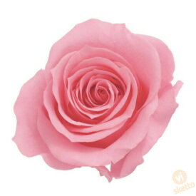 大地農園 プリザーブドフラワー ローズ いずみ ≪プリンセスピンク≫ (プリザ 花材 薔薇 バラ ピンク pink 1箱9輪入り )