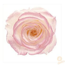 大地農園 プリザーブドフラワー ローズ いずみ はないろ ≪ホワイト/ピンク≫ (プリザ 花材 薔薇 バラ ピンク pink 1箱9輪入り )