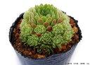 シトラス センペルビウム属 多肉植物 9cmポット