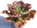 ドロシー エケベリア 多肉植物