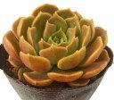 ブラウンローズ エケベリア属 多肉植物 9cmポット