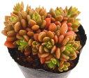 タツタホウ シノクラッスラ 多肉植物