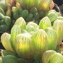 ギョクロ ジュエルプランツ ハオルチア 多肉植物