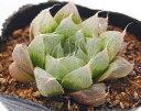 ジュエルプランツ ハオルチア 多肉植物