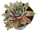 ウォルコッツバラエティ センペルビウム属 多肉植物 9cmポット
