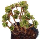 アエオニウム 多肉植物