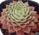 パシフィクマジックナイト センペルビウム属 多肉植物 9cmポット