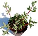 白鳳菊(ハクホウギク)オスクラリア属 多肉植物 9cmポット