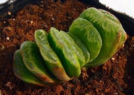 グリーン玉扇【ジュエルプランツ】ハオルチア属 多肉植物 9cmポット